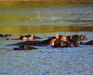 The Ears of the Hippopotamus